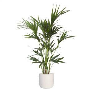Niet giftige luchtzuiverende plant. Veilige plant voor baby's en kinderen. Breekt schadelijke stoffen af en verbetert de luchtvochtigheid.