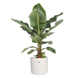 Bananenplant babykamer en kinderkamer. Niet giftige kamerplanten kind en baby. Plant voor in een babykamer of kinderkamer met jungle thema!