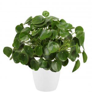 Kindvriendelijke duurzaam geteelde plant, pannenkoekenplant