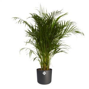 Luchtzuiverende plant babykamer en kinderkamer. Luchtvochtigheid verbeteren. Gave jungle plant voor een jungle babykamer of kinderkamer! Duurzame kwekerij