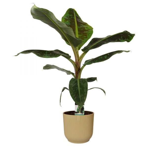 Decorum Musa Dwarf Cavendish. Tropisch tintje geven aan de babykamer en kinderkamer. De bananenplant zit in een gerecyclede plastic ELHO pot.